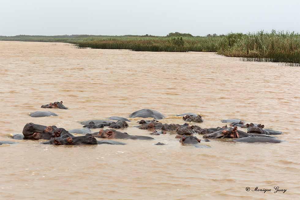 Groupe d'hippopotames estuaire St Lucia