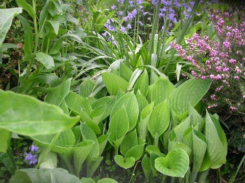 Les hostas au jardin (2ème partie)