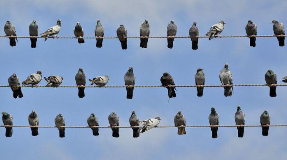 """Résultat de recherche d'images pour """"pigeon"""""""