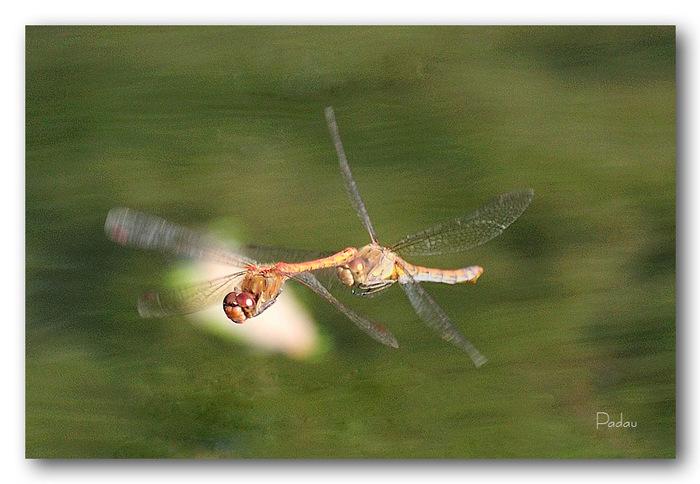 Les libellules de la mare