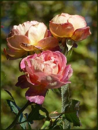 A la faveur d'une rosée...