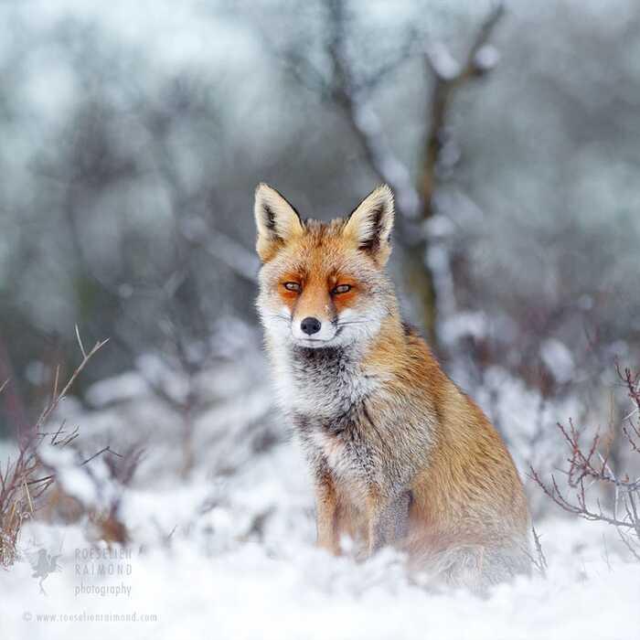 Un photographe capture un conte de fées réel de renards sauvages dans des paysages enneigés