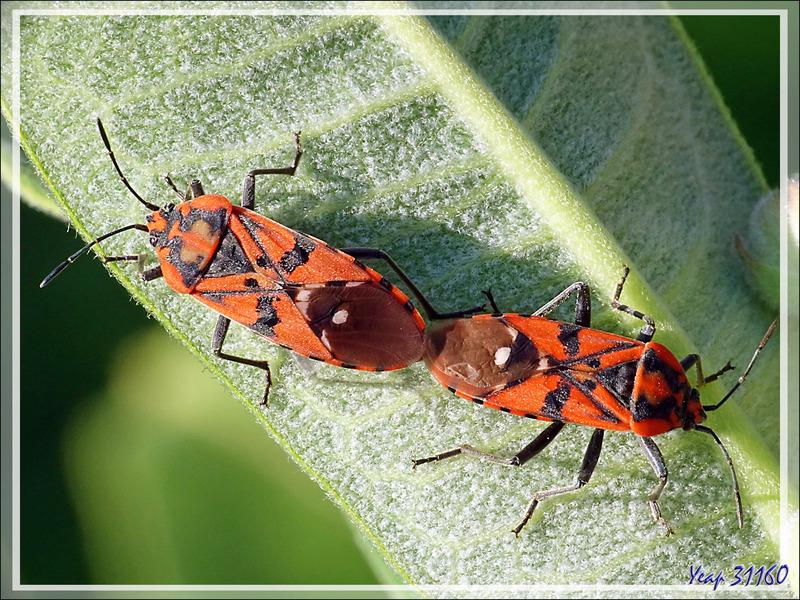 Le Rouge et le Noir : Grandes amours chez les Punaises militaires (Spilostethus pandurus) - Lartigau - Milhas - 31