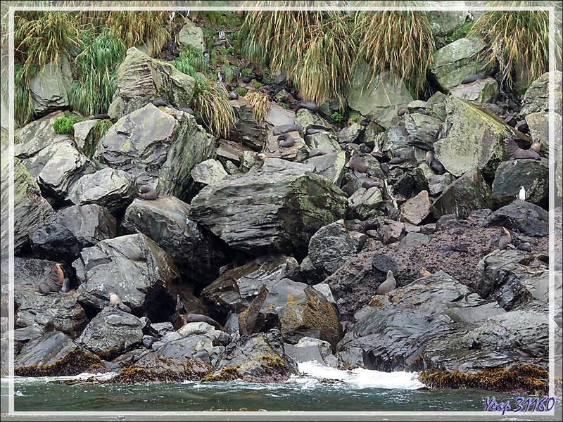Les rochers : un très bon camouflage pour les otaries - Raised Beach - Gough Island - Tristan da Cunha