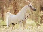 Le Cheval Pur Sang Arabe