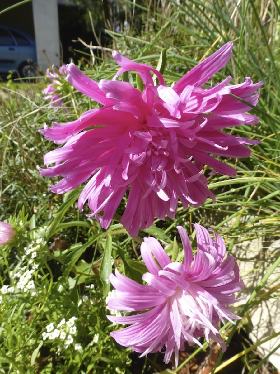 En rentrant de Bordeaux: un jardin plus fleuri que cet été!