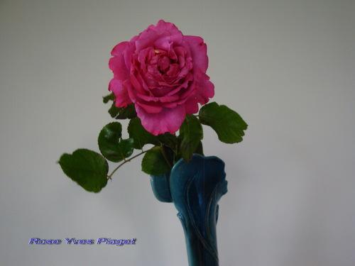 Le parfum des roses.