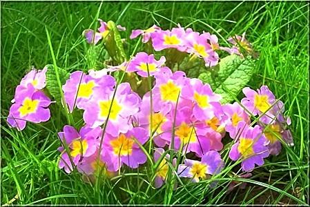 Fleurs d'aurore-copie-1