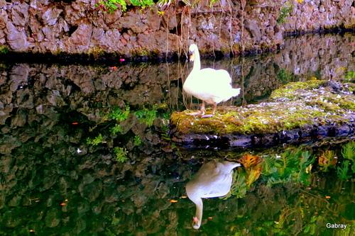 Madère : petit oiseau et cygne blanc ... n18