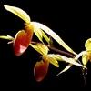 Orchidée Sabot de venus.jpg