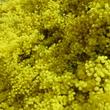 Mimosas (1)