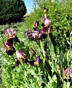 Ancolies, iris et compagnie! (1)