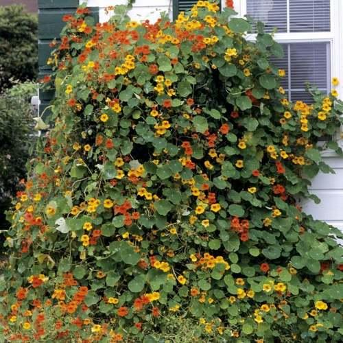 Fleurs cultivées : Capucine
