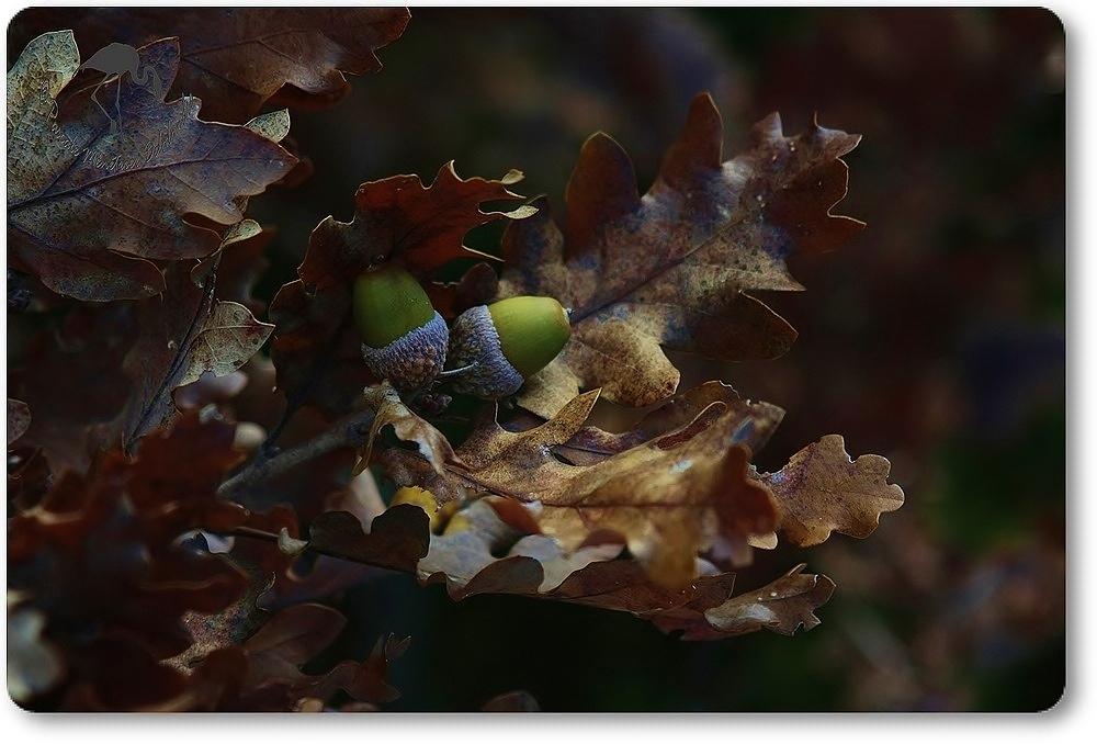 Feuilles de chêne et ses fruits...