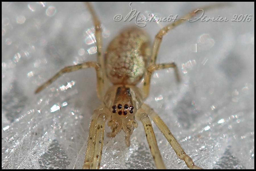 Araignée : Tetragnatha sp.