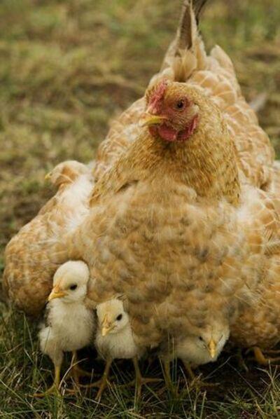 les belles poulettes .....