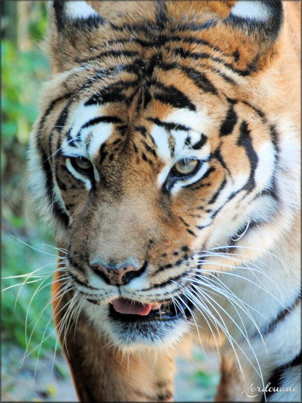 Photo de Tigres d' Asie du Zoo de la Palmyre