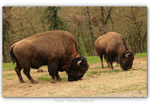 Bison d'Amérique (Bison bison) - Fiche info ICI