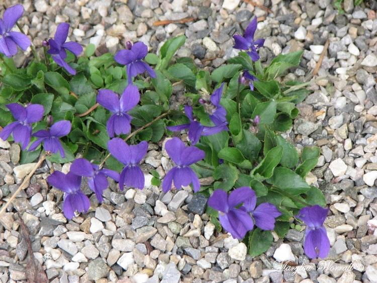 Souvenir couleur jonquille et violette