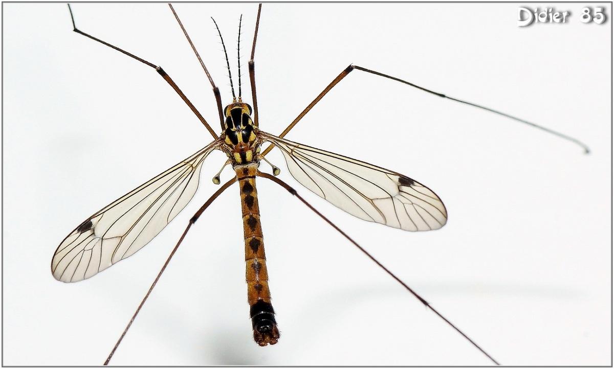 Tipule (1) - Cousin / Tipula