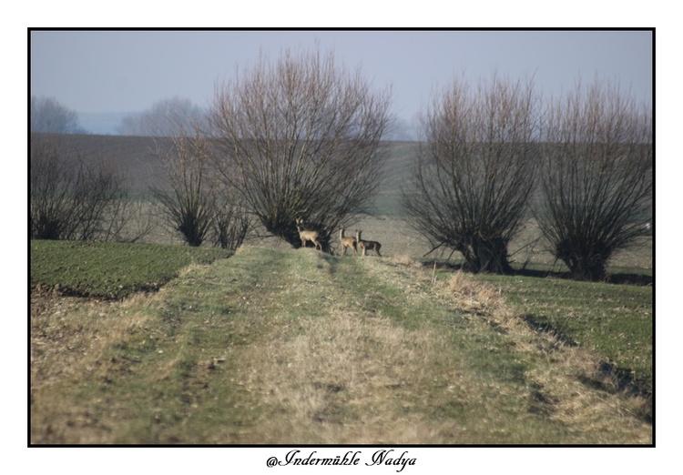 Chevreuil en Ardennes
