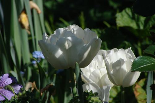 Tulipes du matin