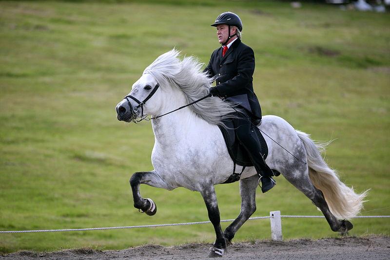 Le cheval islandais.