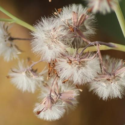 Senecio Kleiniiformis - Le pollen des fleurs