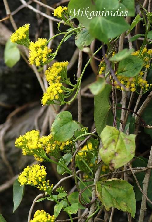 Plantes d'Intérieur : SENECIO  (Composées)