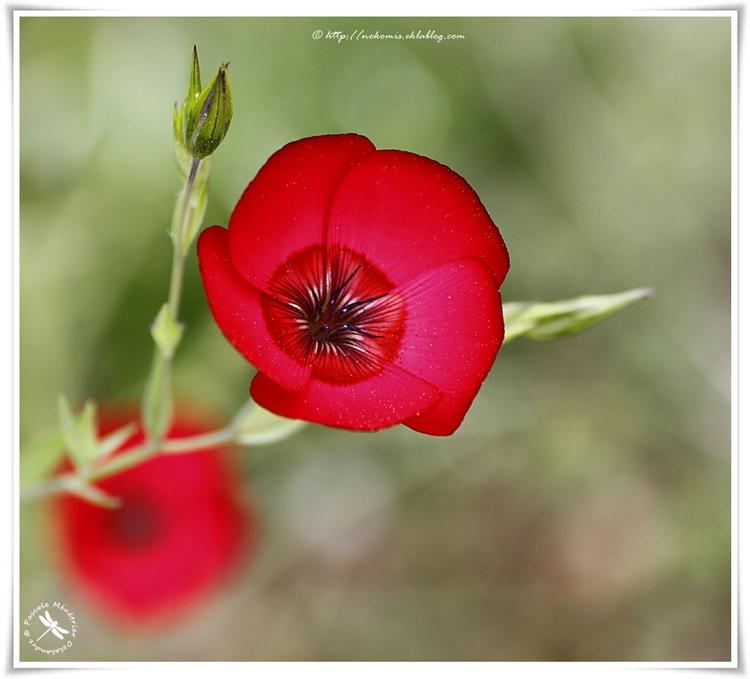 Lin rouge (Linum)