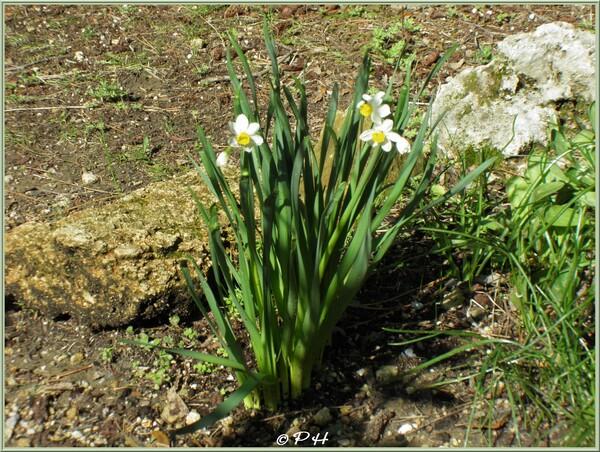 Narcisse tazette