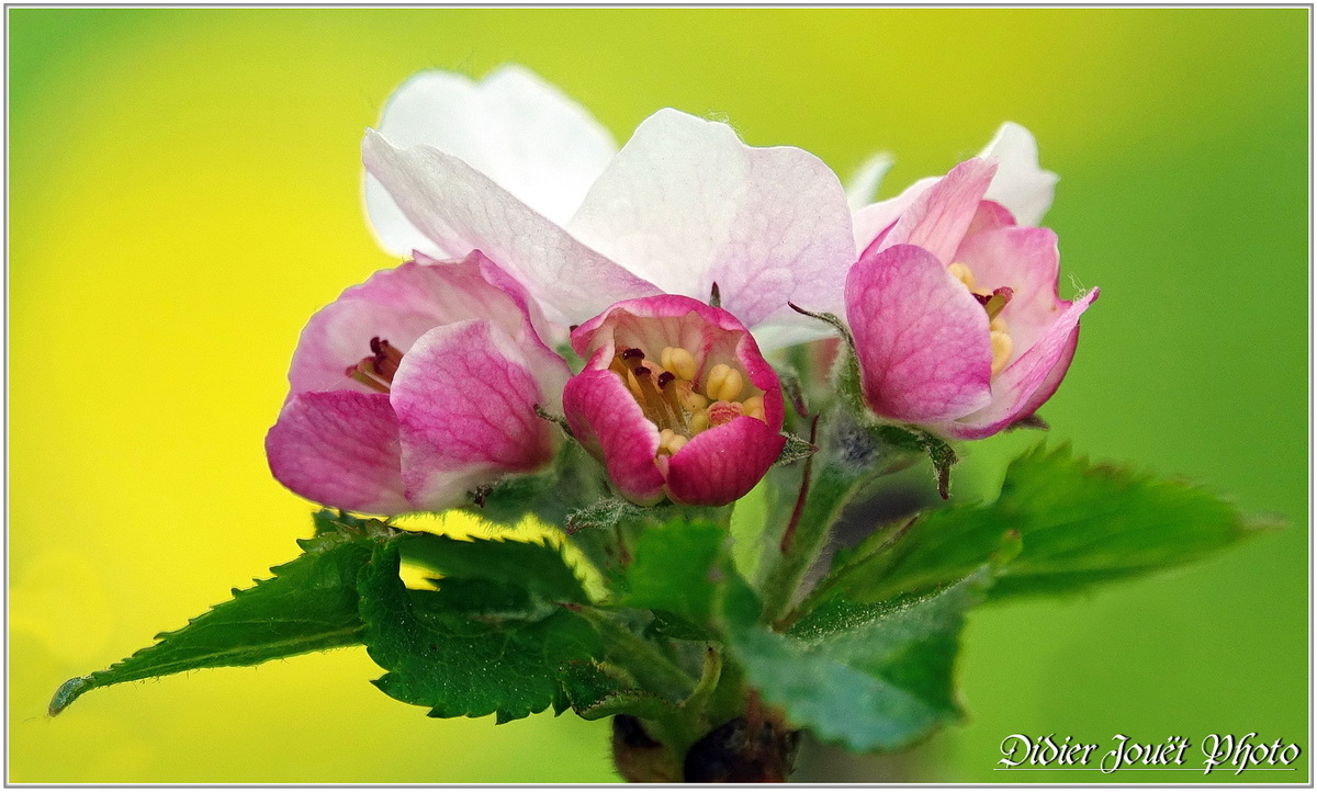 Pommier (2) - Fleurs