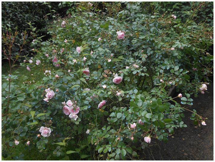 rosiers 2016 au mois de juin