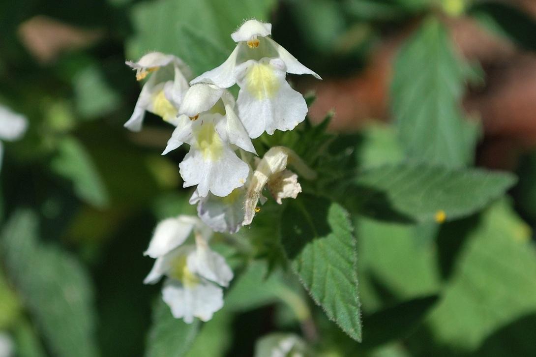 Galéopsis segetum (Lamiaceae)