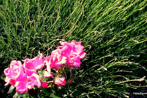 Des roses au soleil