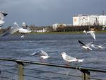 Tauben auf dem Rheinufer-Geländer