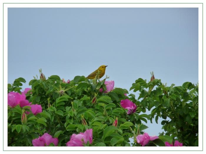 La paruline jaune.