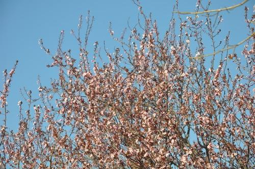 Fleurs d'abricotier dans mon jardin.