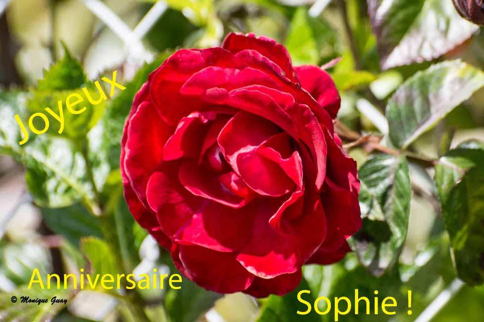 Rose rouge pour Sophie