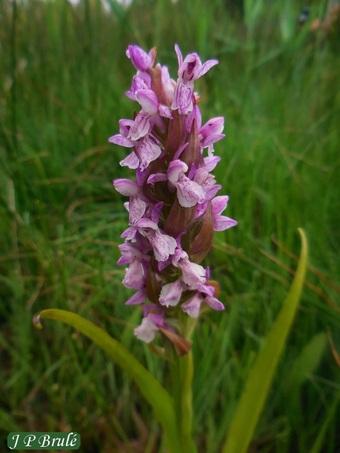 Botanique - les orchidées de l'Yonne