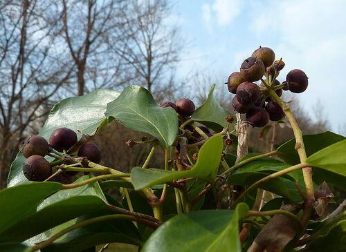 Lierre Hedera helix rameau de tiges florifères, feuilles ovales à sommet aigu et baies