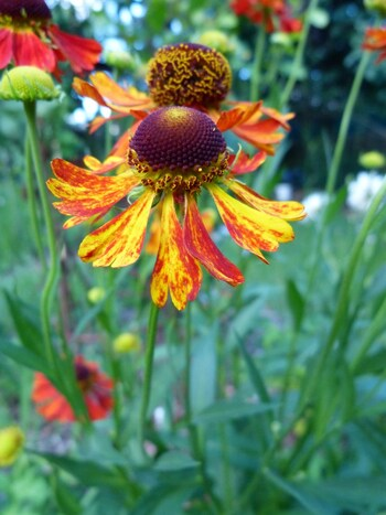 "helenium ""morheim beauty"""