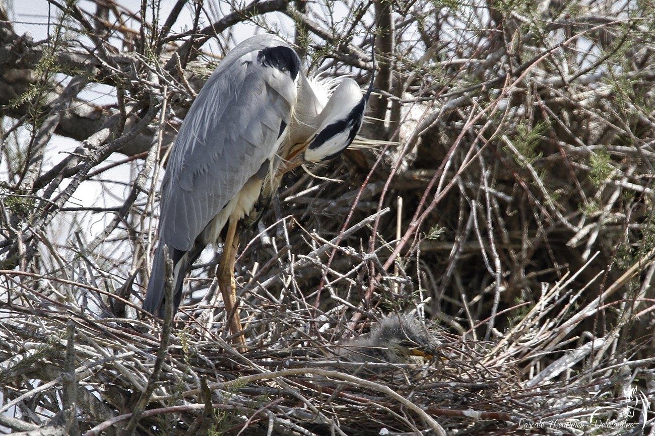 Héron cendré et ses tout petits bien cachés au fond du nid
