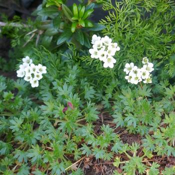 Saxifrage faux géranium (remarquer la forme des feuilles)