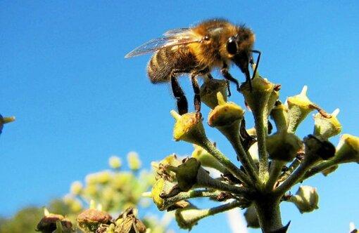 Les abeilles sont menacées par l'utilisation des néonicotinoïdes.