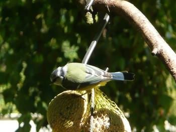 oiseaux mésanges (25)