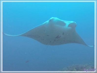 Raies mantas de récif ou Raies mantas d'Alfred, Reef manta rays (Manta alfredi) - Moofushi - Atoll d'Ari - Maldives