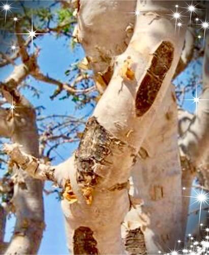 2-Oliban boswelia catarii Encens