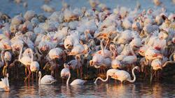Les flamants roses en Camargue