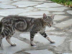 Chaton-tigre.jpg